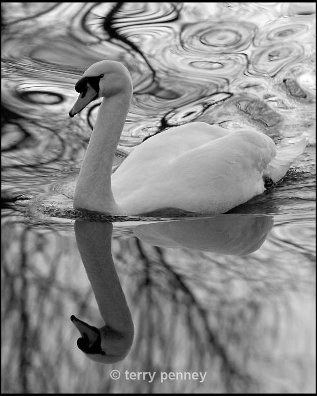 Mute Swan (Cygnus olor) - Birds