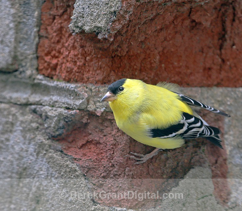 American Goldfinch (m) - Birds of Atlantic Canada