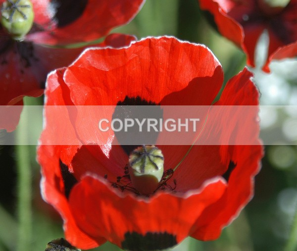 The Poppy - FDSC-0160 - The Flower Shop