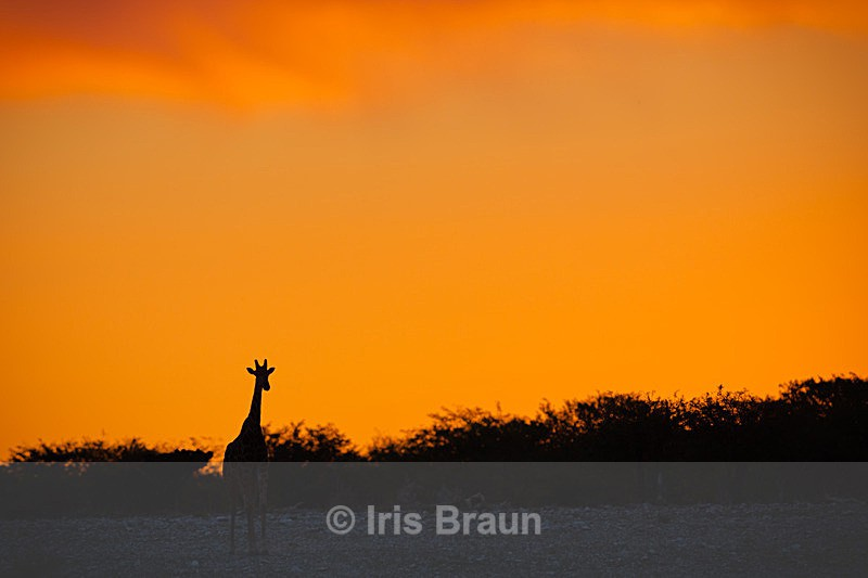 Sunset over Namutomi - Giraffe