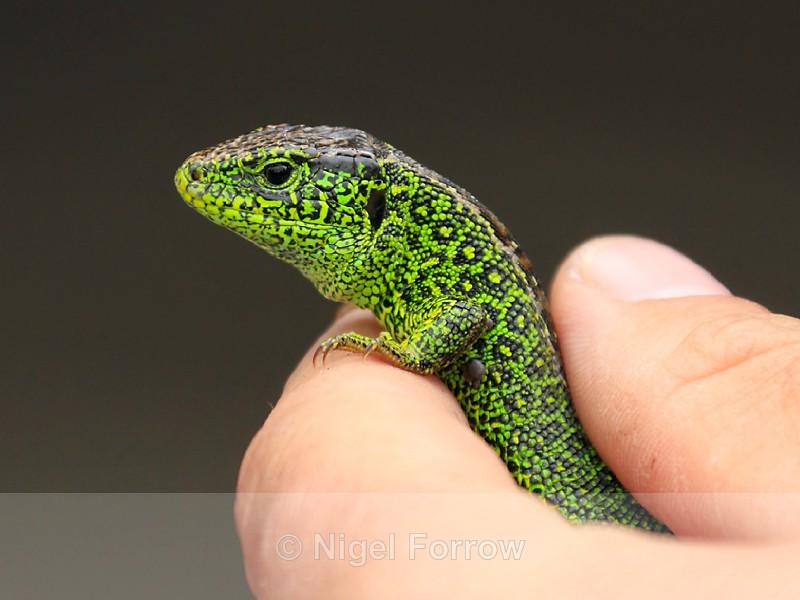 Sand Lizard (breeding male) - REPTILES & AMPHIBIANS