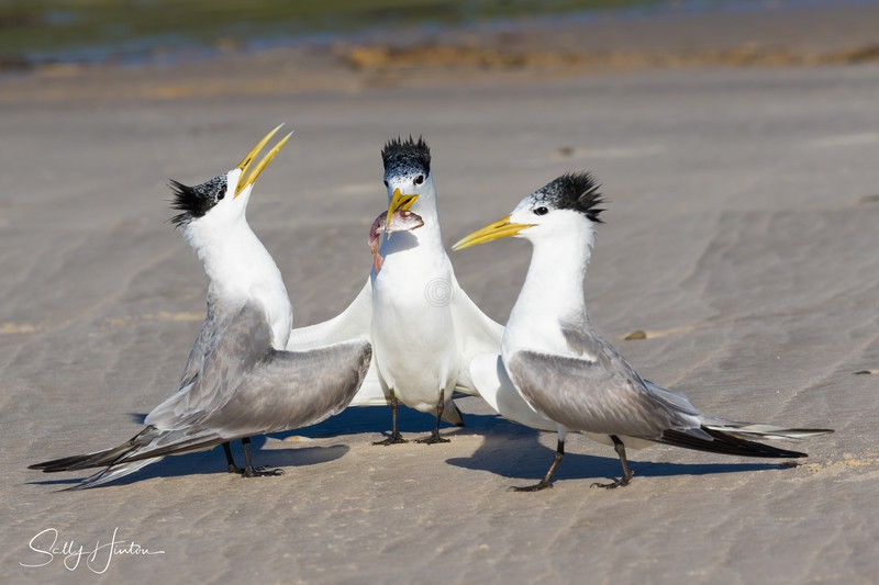 Love Dance 23 - Crested Terns 2018 (For Sale)