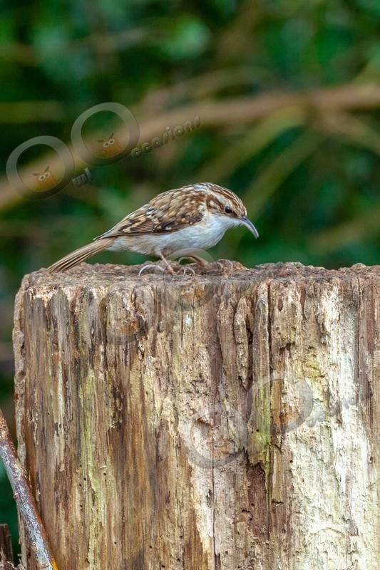 tree creeper Certhia familiaris-3412 - UK birds