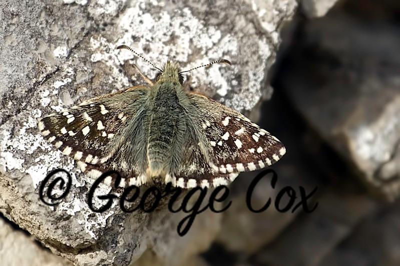 Grizzled Skipper - Vercors Butterflies