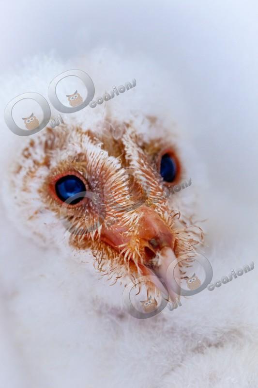 barn owl tyto alba-9732 - Owls of the World