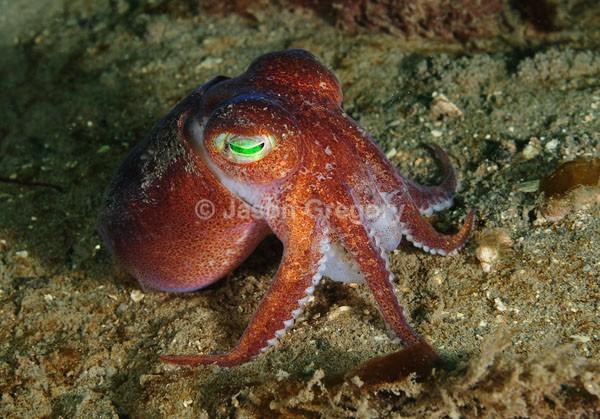 Rossia macrosoma - Octopus, Squid & Cuttlefish (Cephalopoda)