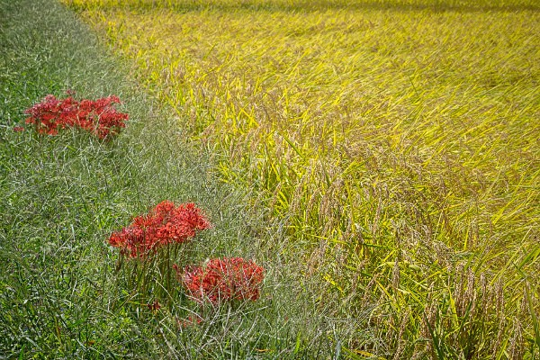 05 Rice Field with Spider Lilies - Autumn Rice