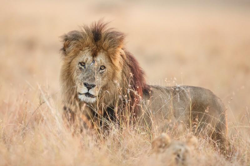 - Lions