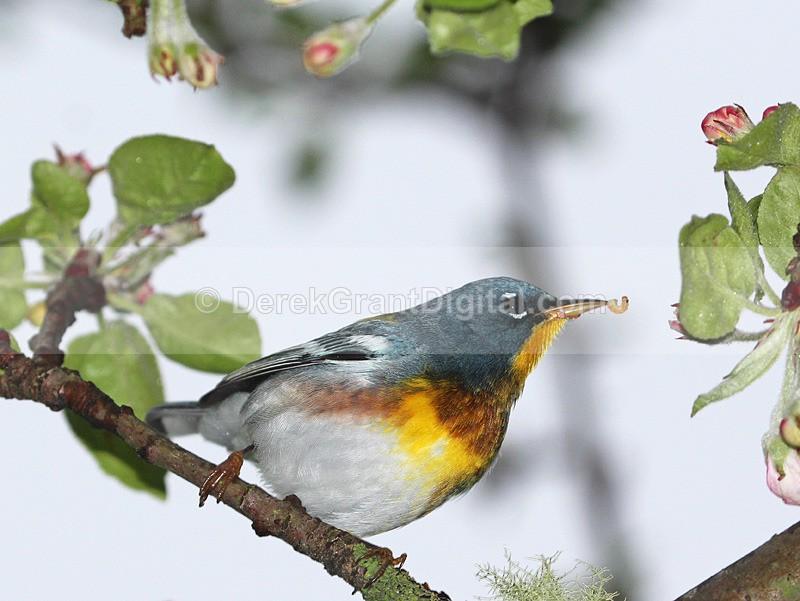 Setophaga americana (male) - Birds of Atlantic Canada
