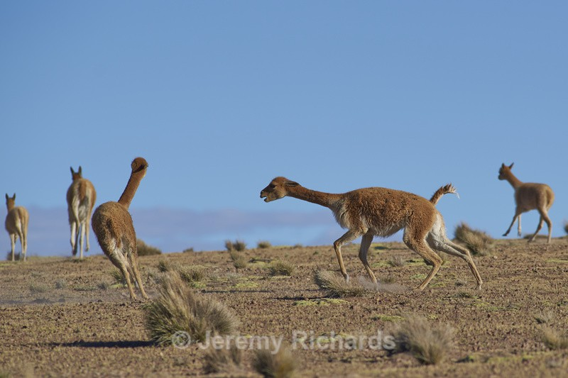 Vicuna Fighting - Altiplano of North-East Chile