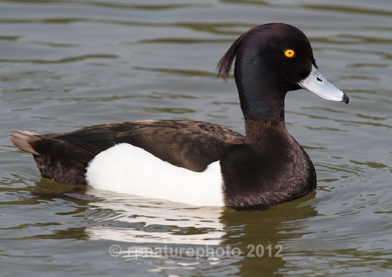 Tufted Duck (male) - Aythya fuligula RPNP0664 - Birds