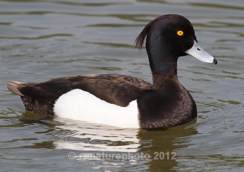 Tufted Duck (male) - Aythya fuligula RPNP0664 - Birds