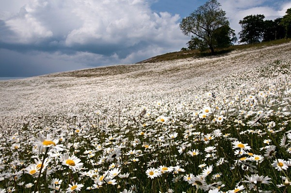 Oxeye Daisy's on the Wolds. - Yorkshire Countryside