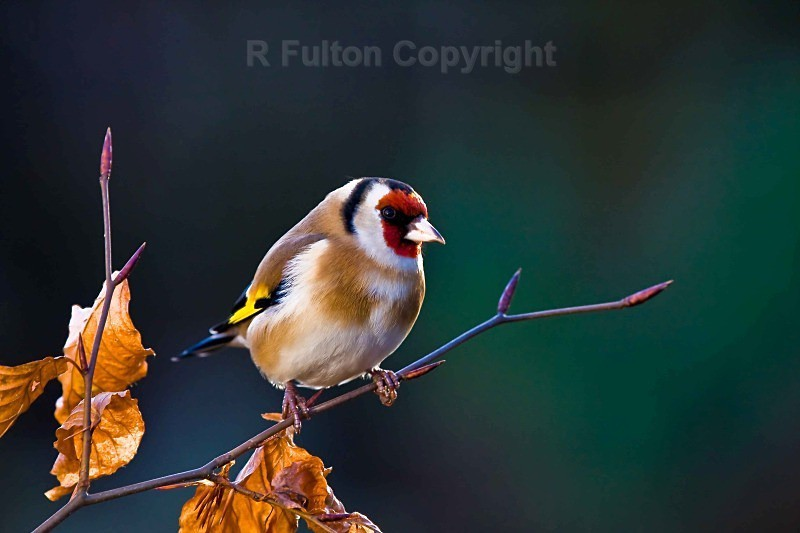 Goldfinch - Nature