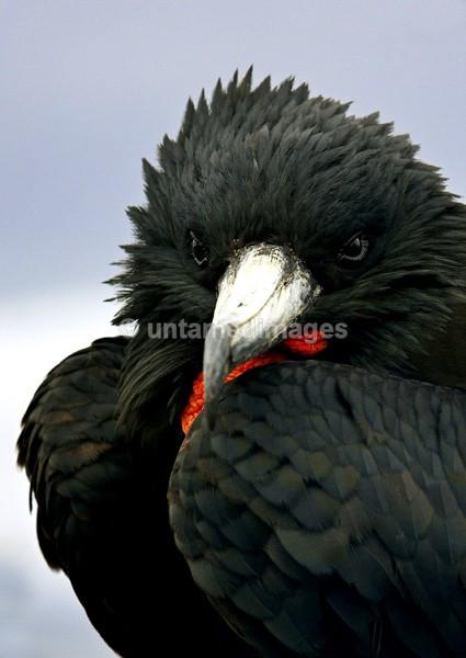Magnificent Frigatebird 2 - Galapágos