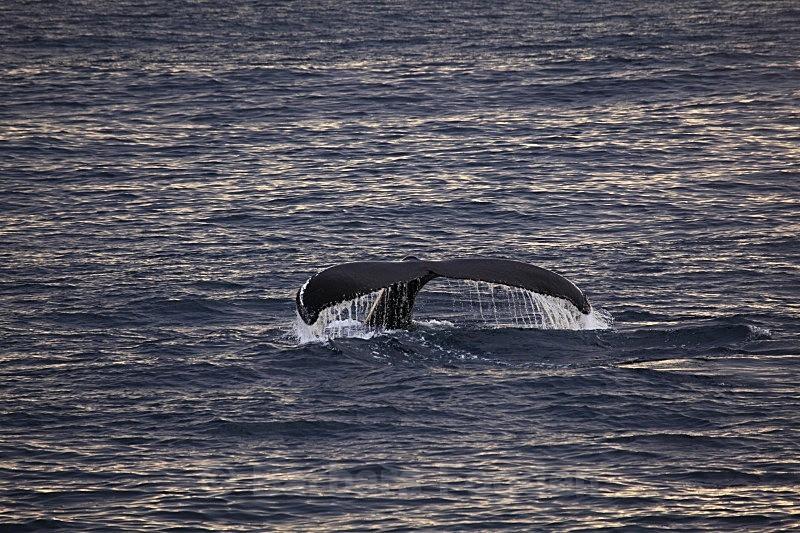 Humpback Whale8752 - Wildlife