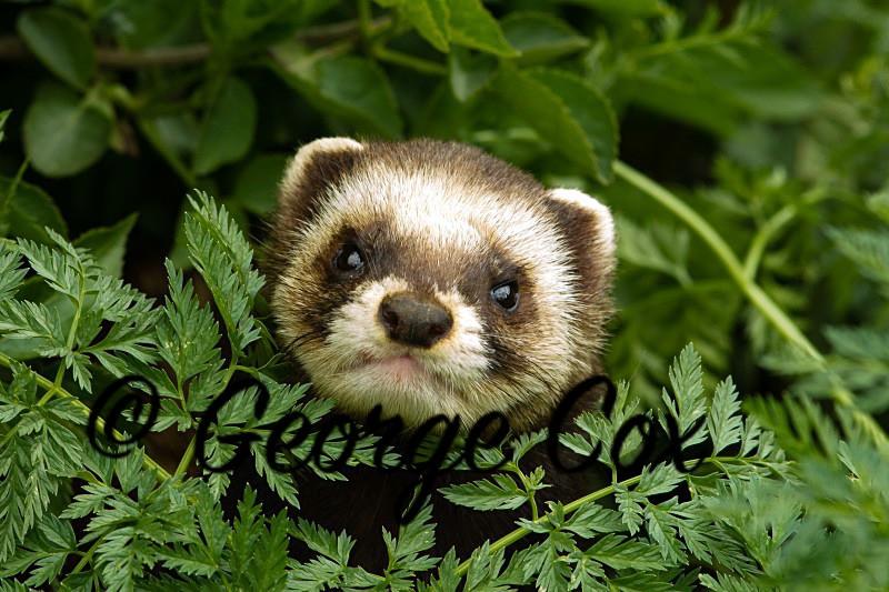 Polecat - Mammals