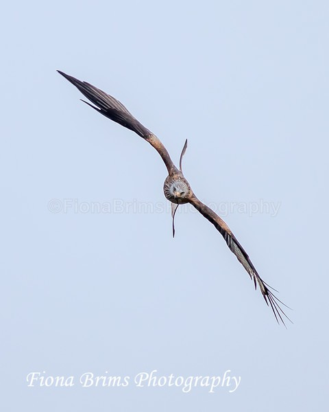 Red Kites  November-100 - Birds of Prey