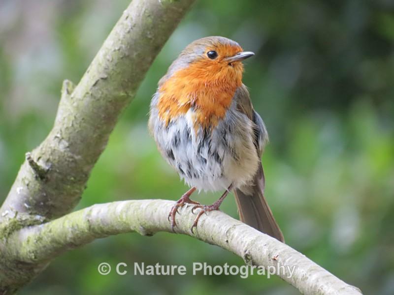 Spring Robin - Birds