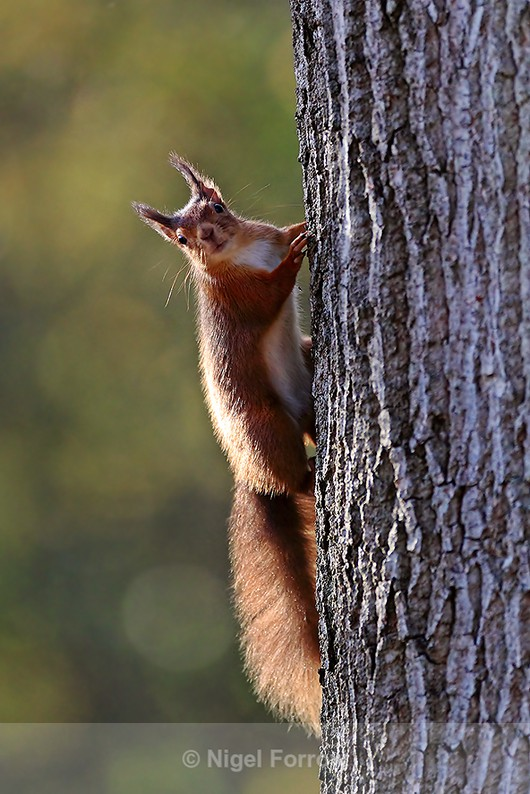 Red Squirrel about to climb up a tree trunk on Brownsea Island - Squirrel