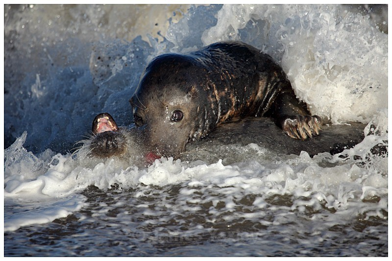 Grey Seal Foreshore Play - The British Wildlife Photography Awards 2009 to 2014