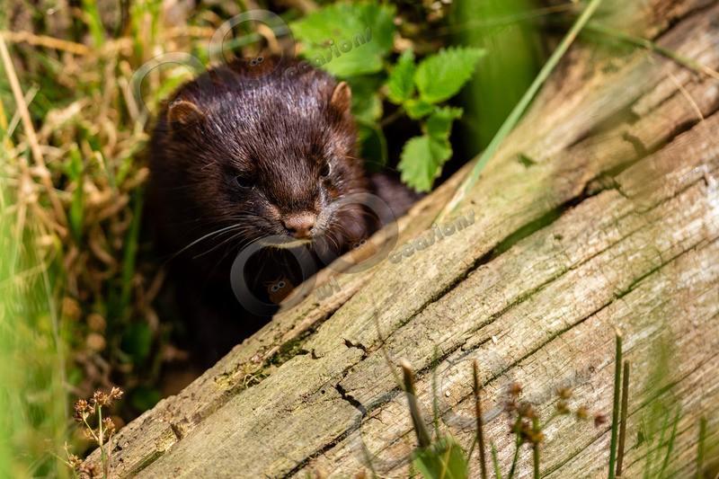 American mink Mustela vison-8173 - UK Wildlife