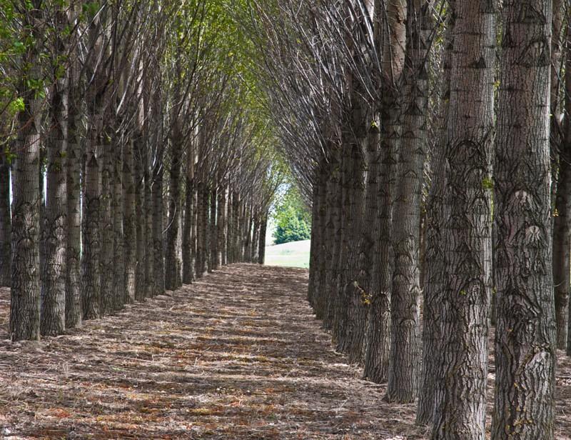 trees - Palouse