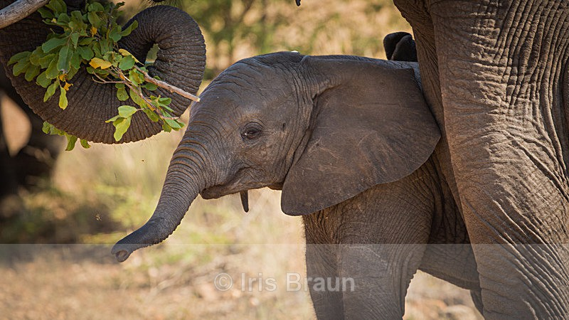 Mini Jumbo - Elephant