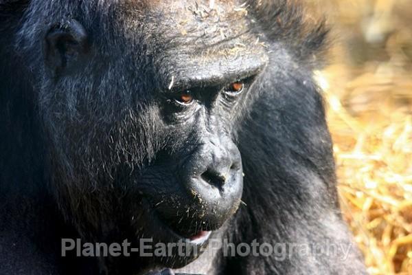 Female Lowland Gorilla - Primates