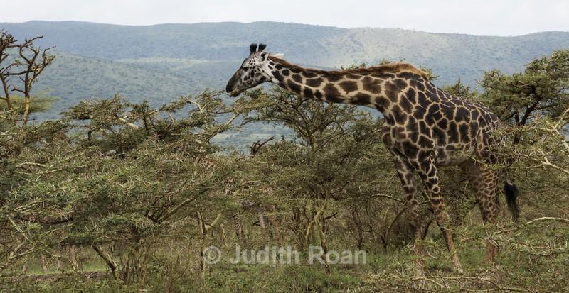 Giraffe in Acacia - Tanzania Birds and Mammals