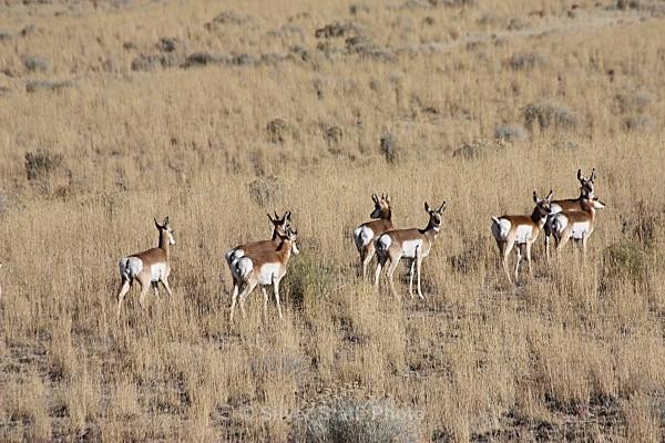 Antelope - 'Wildlife' (Big & Small)