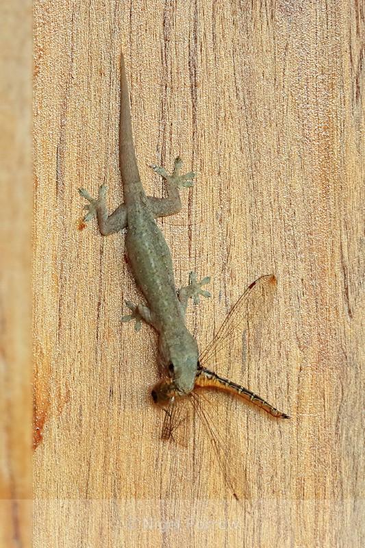 Gecko with Dragonfly, Mekong Delta, Vietnam - REPTILES & AMPHIBIANS