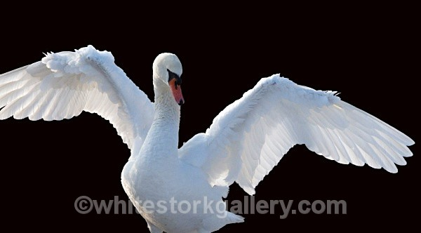 Swan - Wildlife and Animals