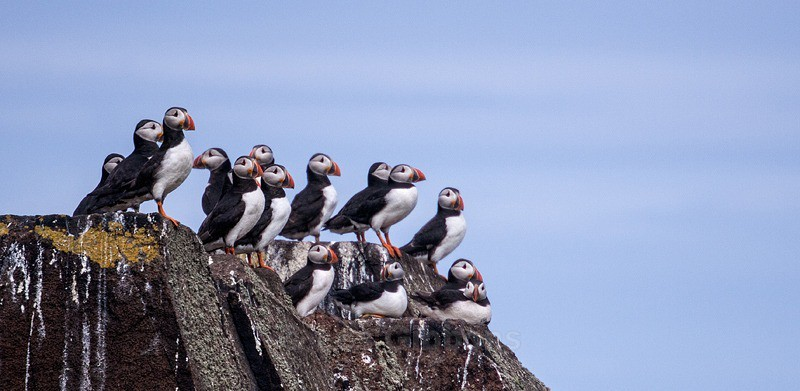 a gathering of puffins - Fife and the Isle of May