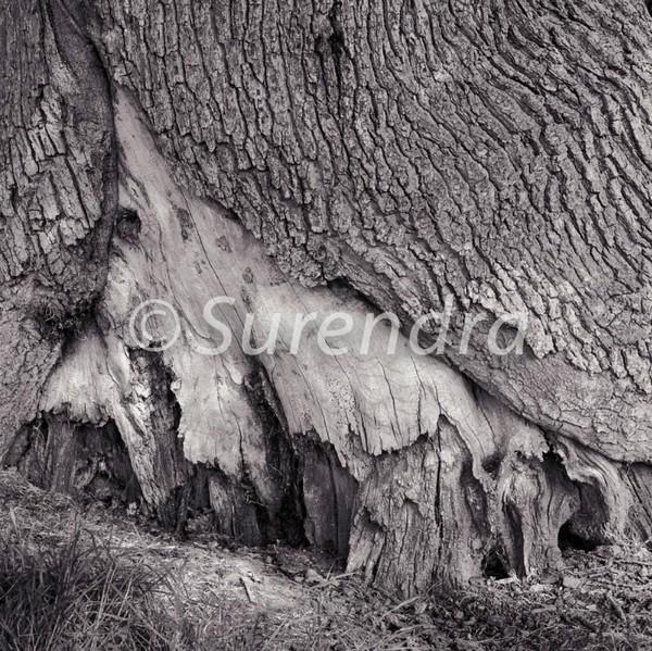Bark # 5D - Bark Series 1 樹皮