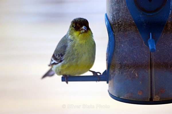 Lesser Goldfinch - Nevada Birds