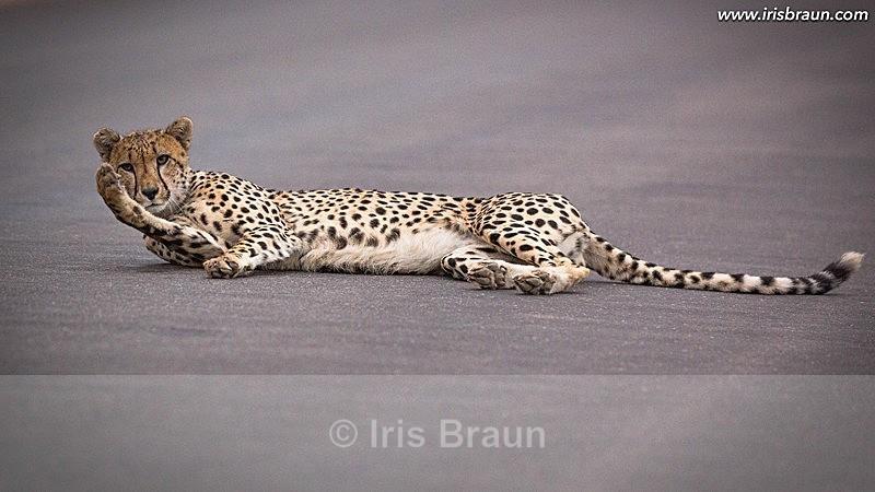 Cat Nap - Cheetah