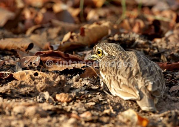 Stone Curlew - India