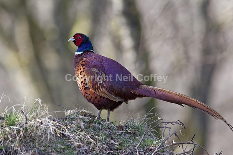 Pheasant, Perthshire - Wildlife