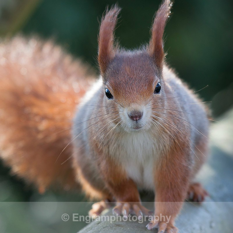 Red Squirrel-R9254 - Animals (Fauna)