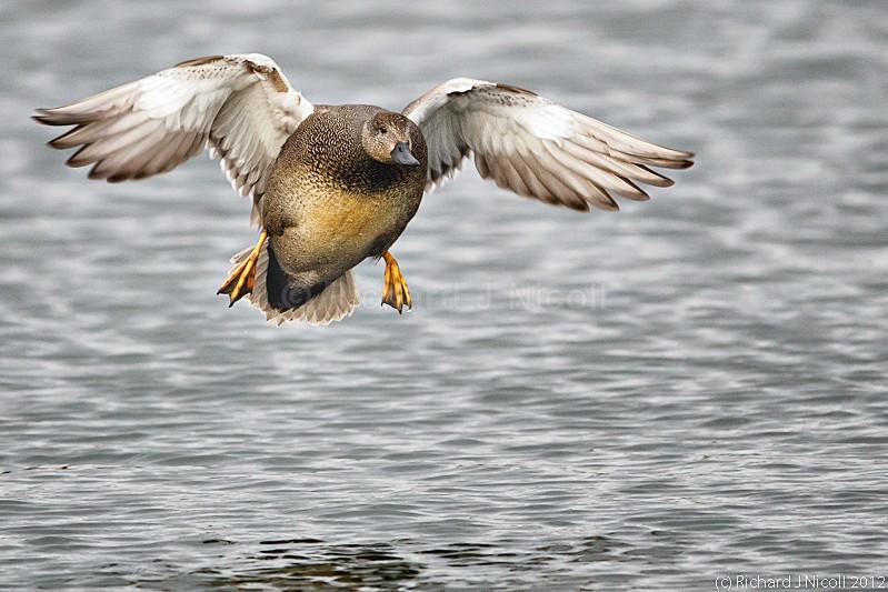 Gadwall (Anas strepera) male landing - ARPS Panel