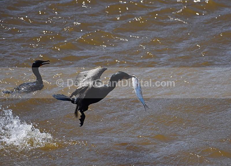 Reversing Falls Fast Food Phalacrocorax auritus - Birds of Atlantic Canada