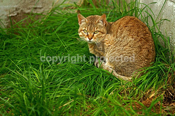 Asian Wild Cat - Cat Survival Trust - Big and Small Wild Cats