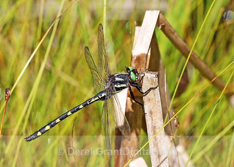 Delta-spotted Spiketail (m) - Dragonflies of Atlantic Canada