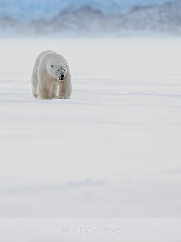 Male Polar Bear front, Svalbard, Norway - Polar Bear