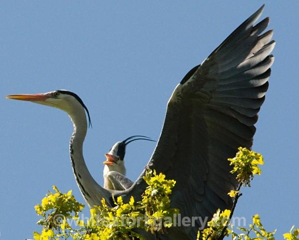 Herons - Wildlife and Animals