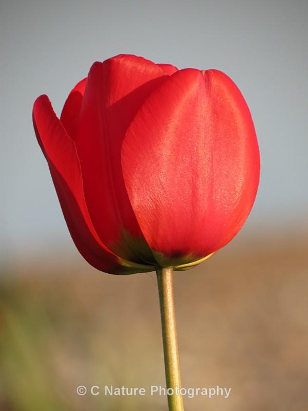 Tulip - Plants
