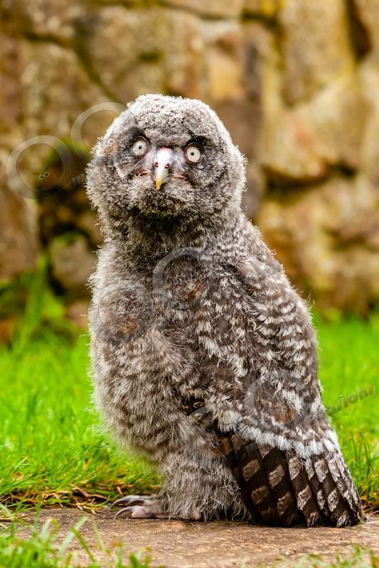 great grey owl stryx nebulosa-7260 - Owls of the World