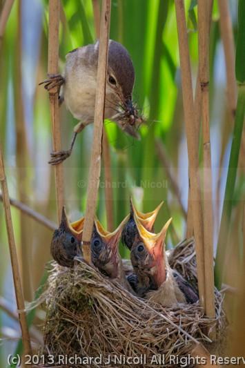 Reed Warbler (Acrocephalus scirpaceus) feeding chicks - Reed Warbler (Acrocephalus scirpaceus)