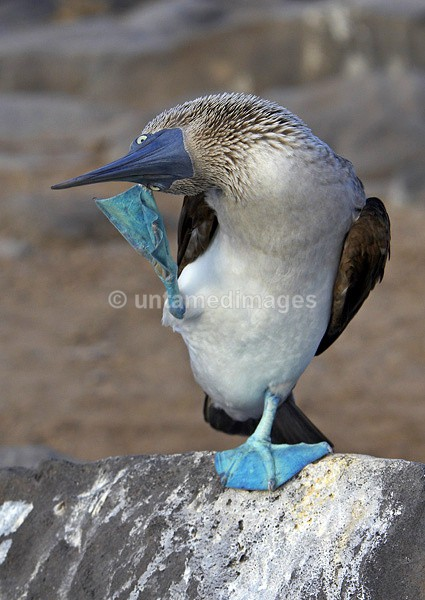Blue-footed Booby 1 - Galapágos